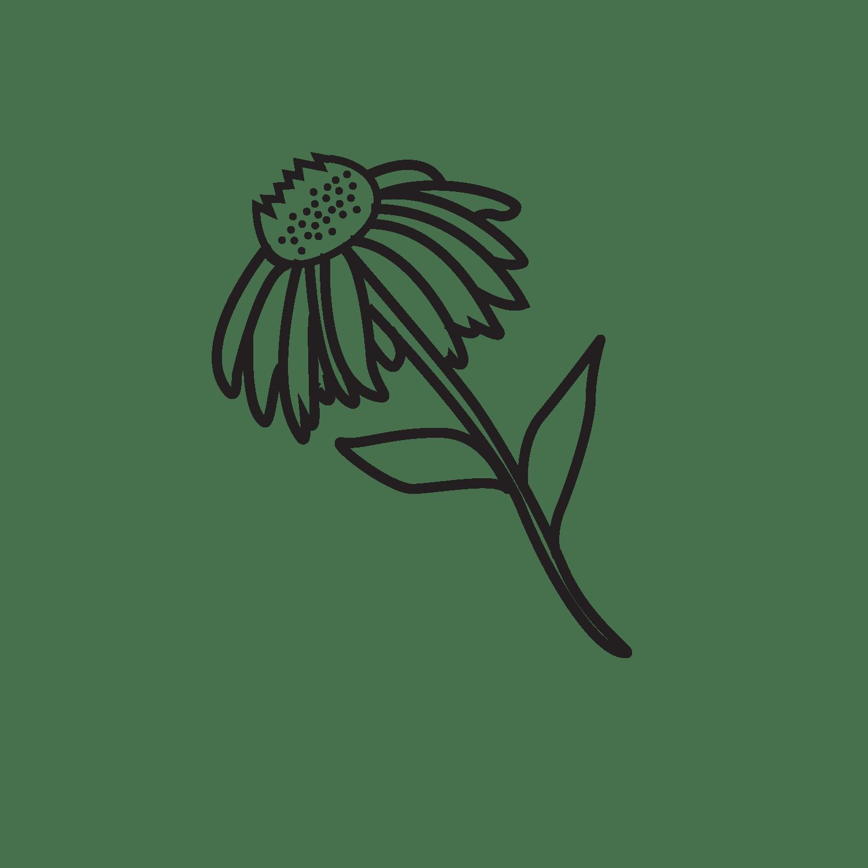 Echinacea purpurea (Ehinacea)