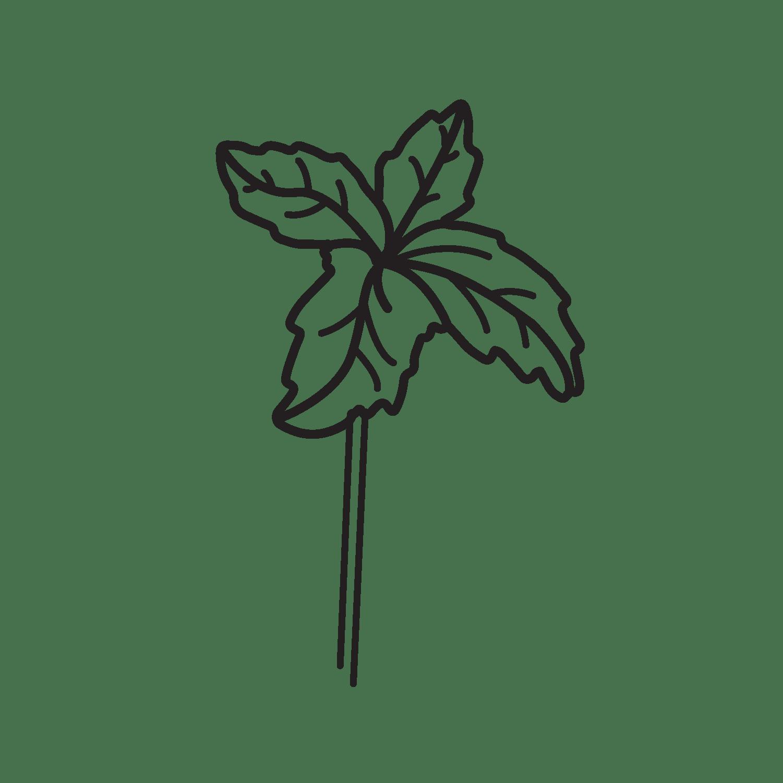 Urtica urens (nettle)